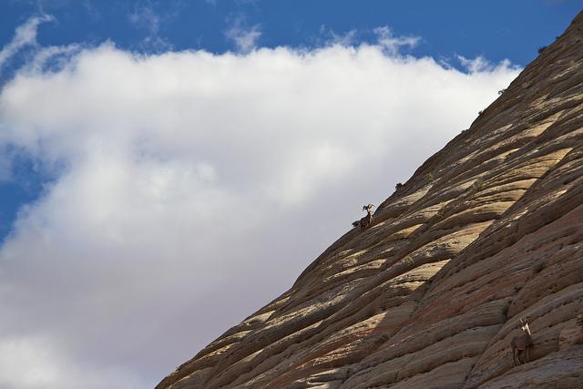 Desert Bighorn Sheep on Checkerboard Mesa