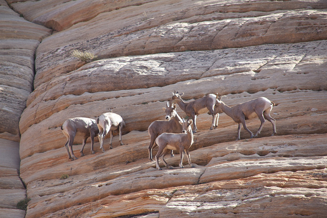 Desert Bighorn Sheep Zion National Park