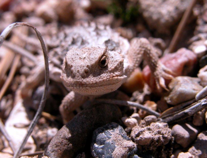 109_horned-lizard_utah.jpg
