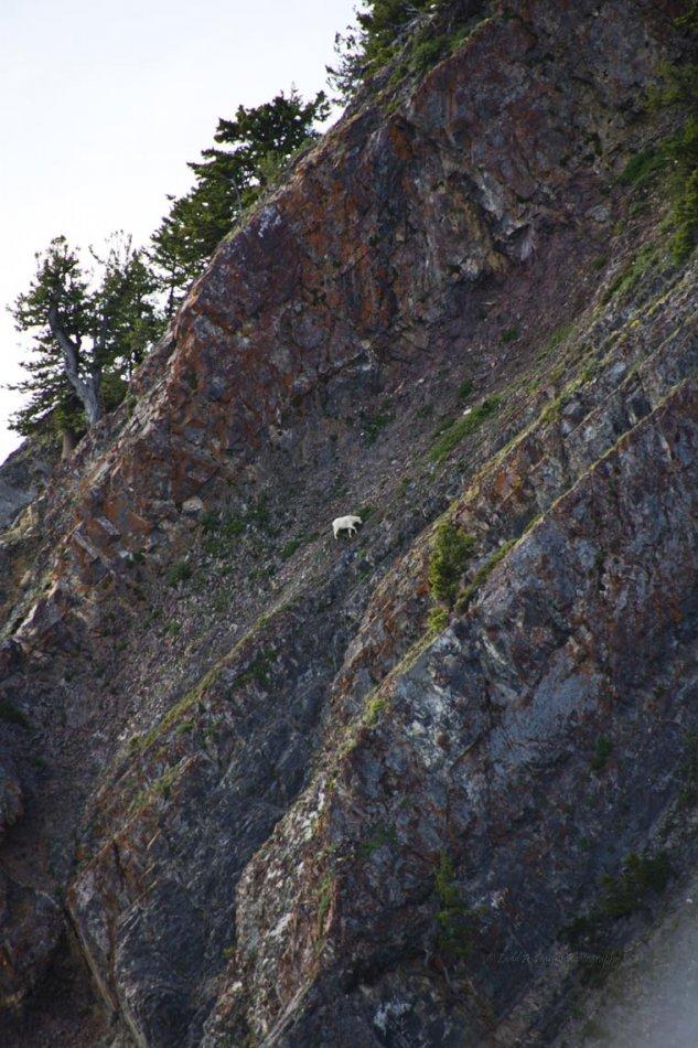 157_wellsville_mountain-goat.jpg