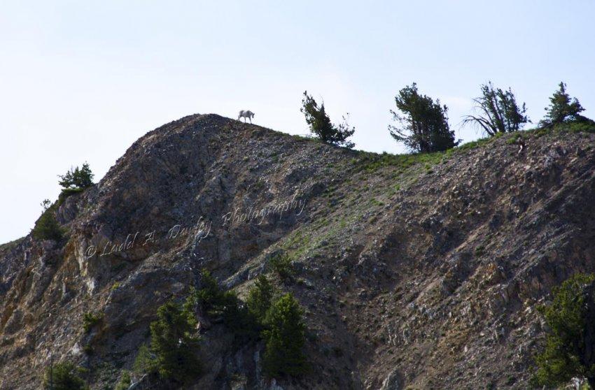 163_wellsville_mountain-goat.jpg