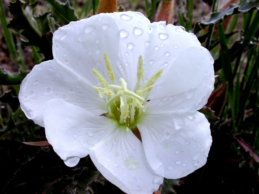 27_evening-primrose_morning-dew.jpg