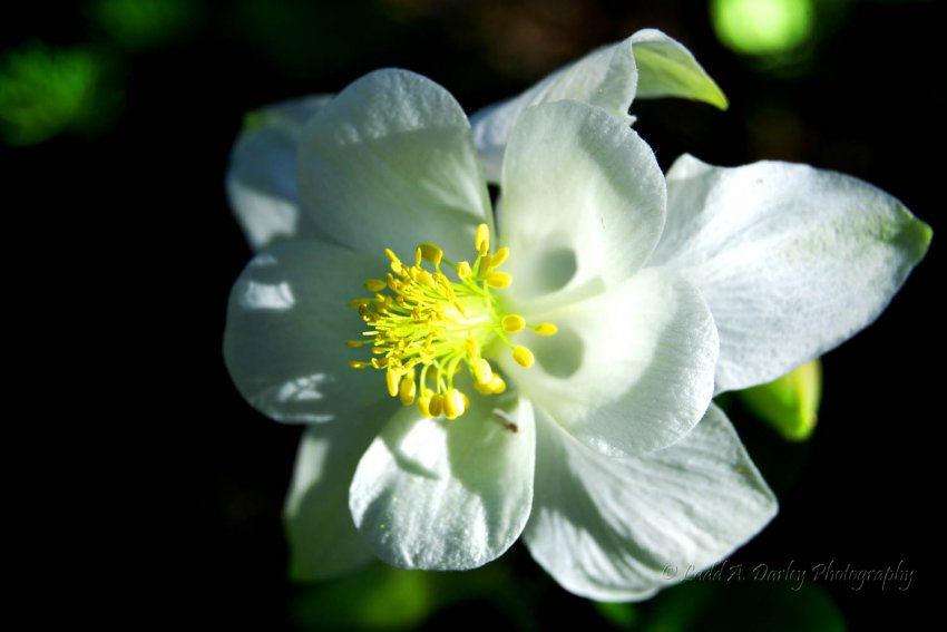 456_morning-columbine_white-pine.jpg