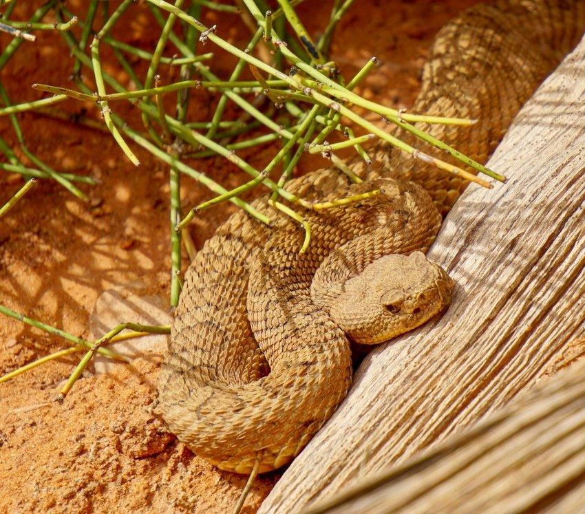 Arches NP midget faded rattlesnake.jpg