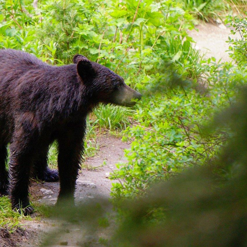 Black bear momma.JPG