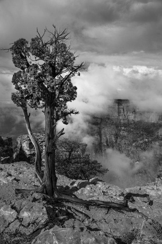 BW Juniper and fog.jpg