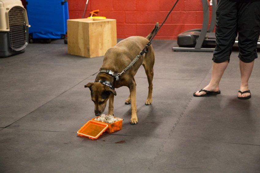dog-rattlesnake-training-12.jpg
