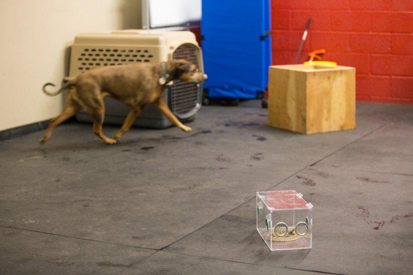 dog-rattlesnake-training-15.jpg