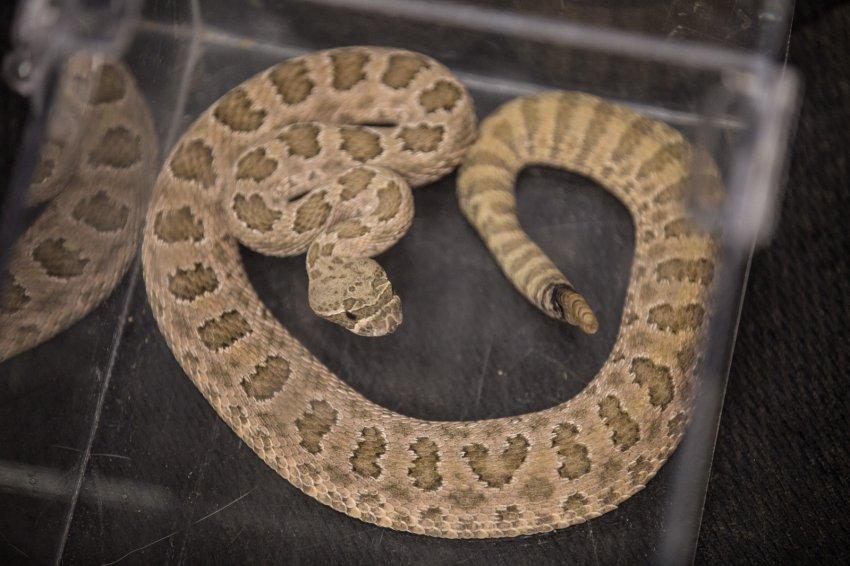 dog-rattlesnake-training-8.jpg