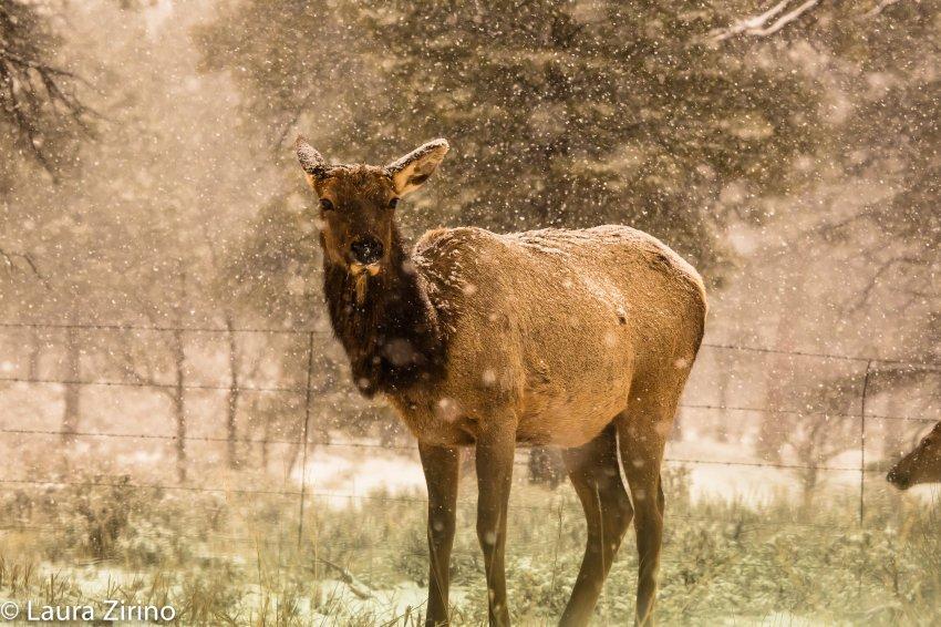 Elk-2.jpg