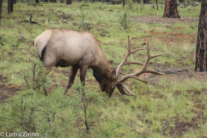 Elk-3.jpg