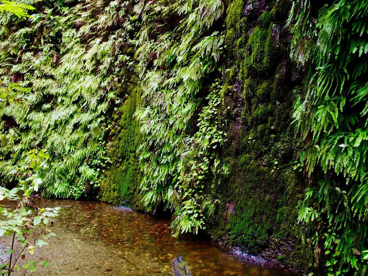 fern-canyon-wall-P9210136.jpeg
