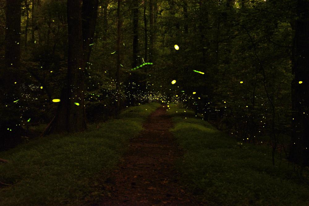 Greenbelt Park Fireflies.JPG