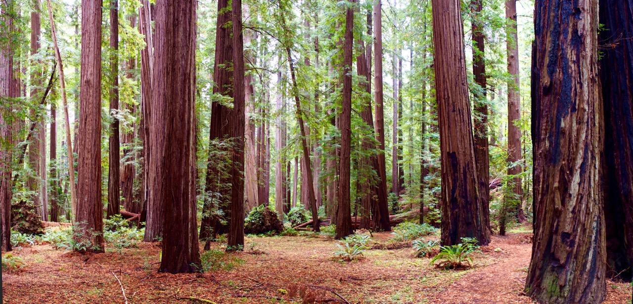 Humboldt-P9200038 Panorama redwood trail v2(1).jpeg