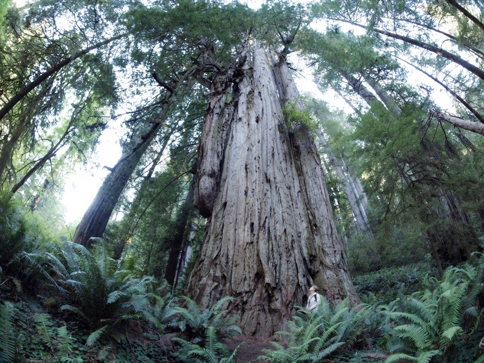 Jedediah-P9252458 big tree fisheye.jpeg