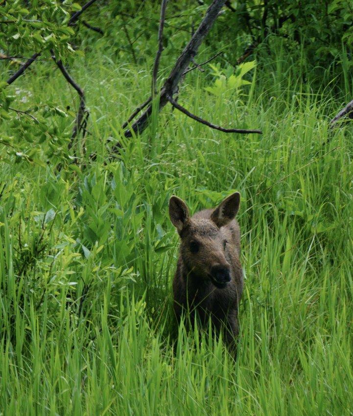 Moose calf.jpg
