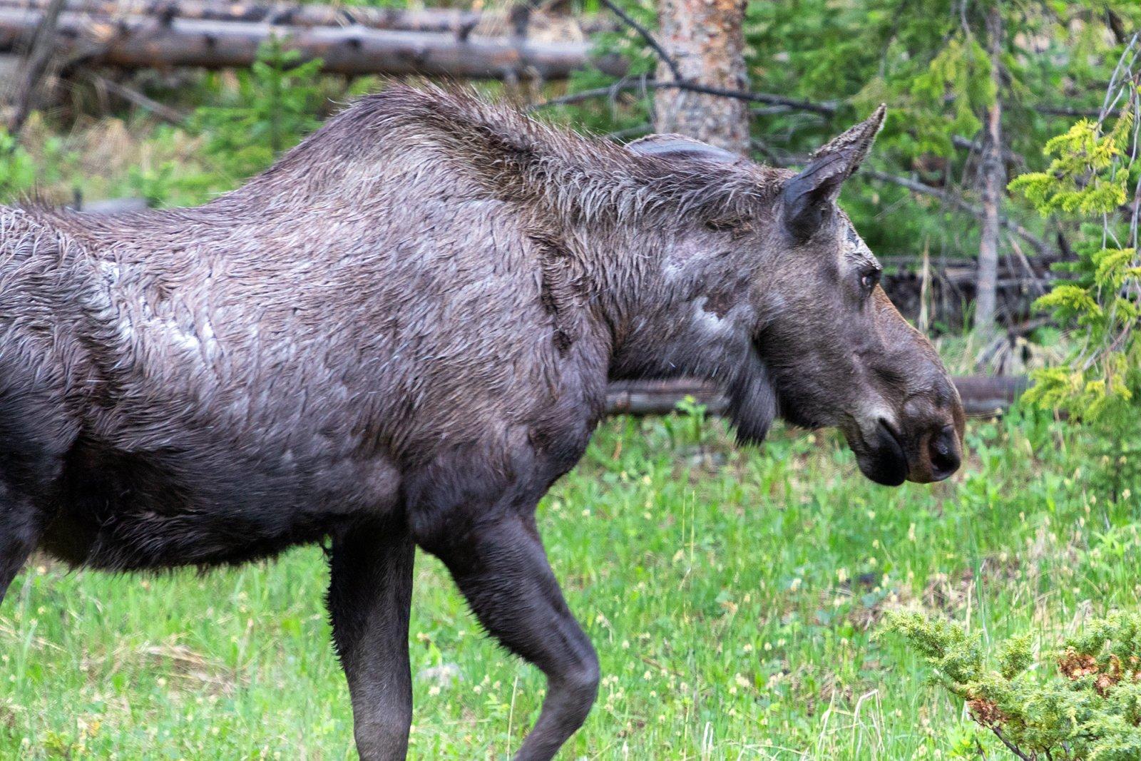 moose.closeup.jpg