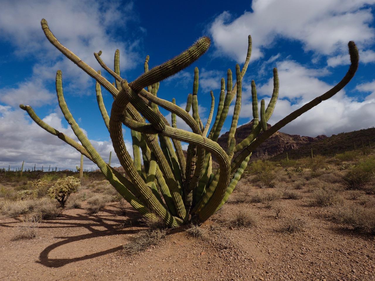 O1-Old Organ Pipe Cactus-P2196510.jpg