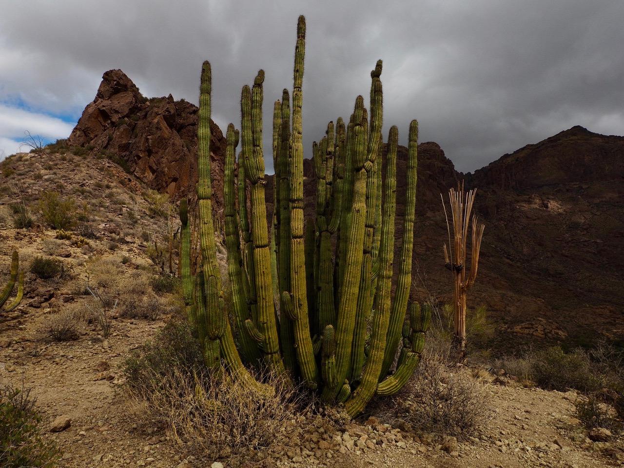O12-organ pipie cactus with dead saguaros-P2196582.jpg