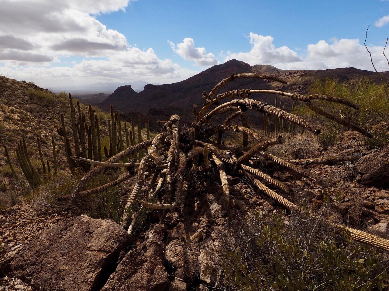 O15-dead organ pipe cactus-P2196588.jpg