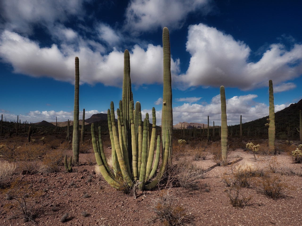 O2- classic western- younger Organ Pipe cactus-P2196536.jpg