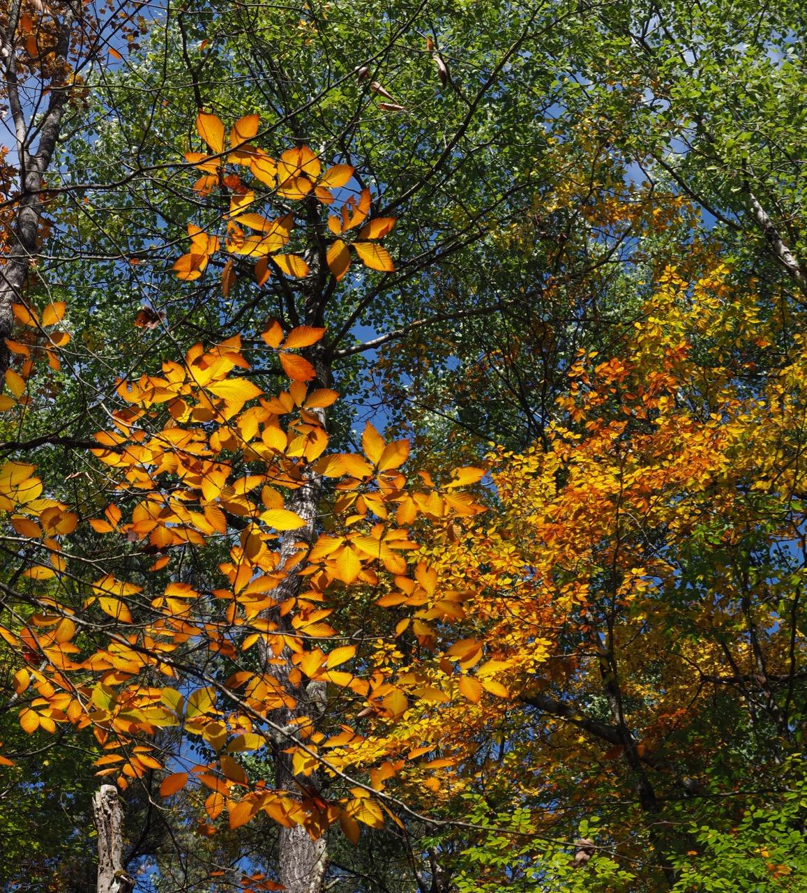 P8-orange leaves towards sky-PA100181.jpg