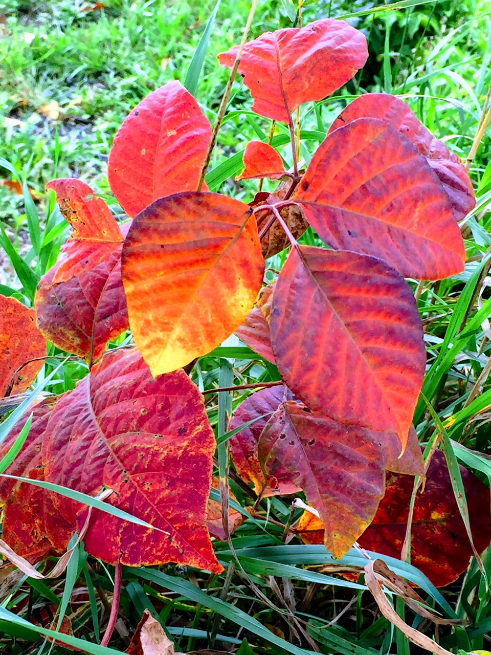 poison ivy-IMG_2051.jpg