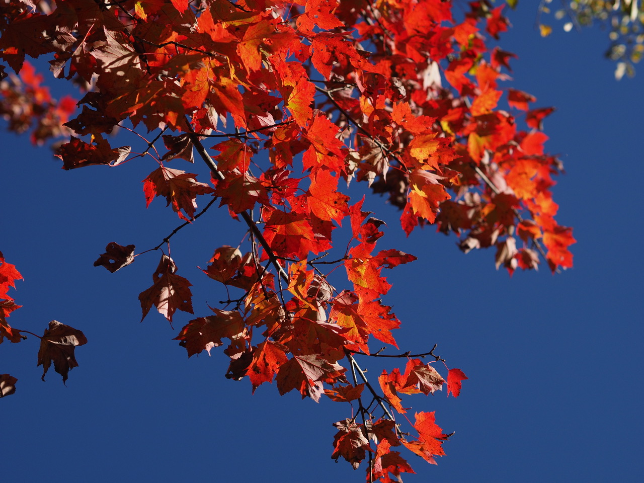 Red colored leaves maple-PA050150.jpg