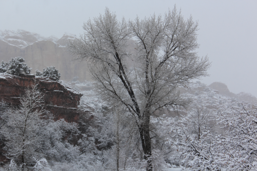 Snowy tree_LCalfCreekFalls.PNG