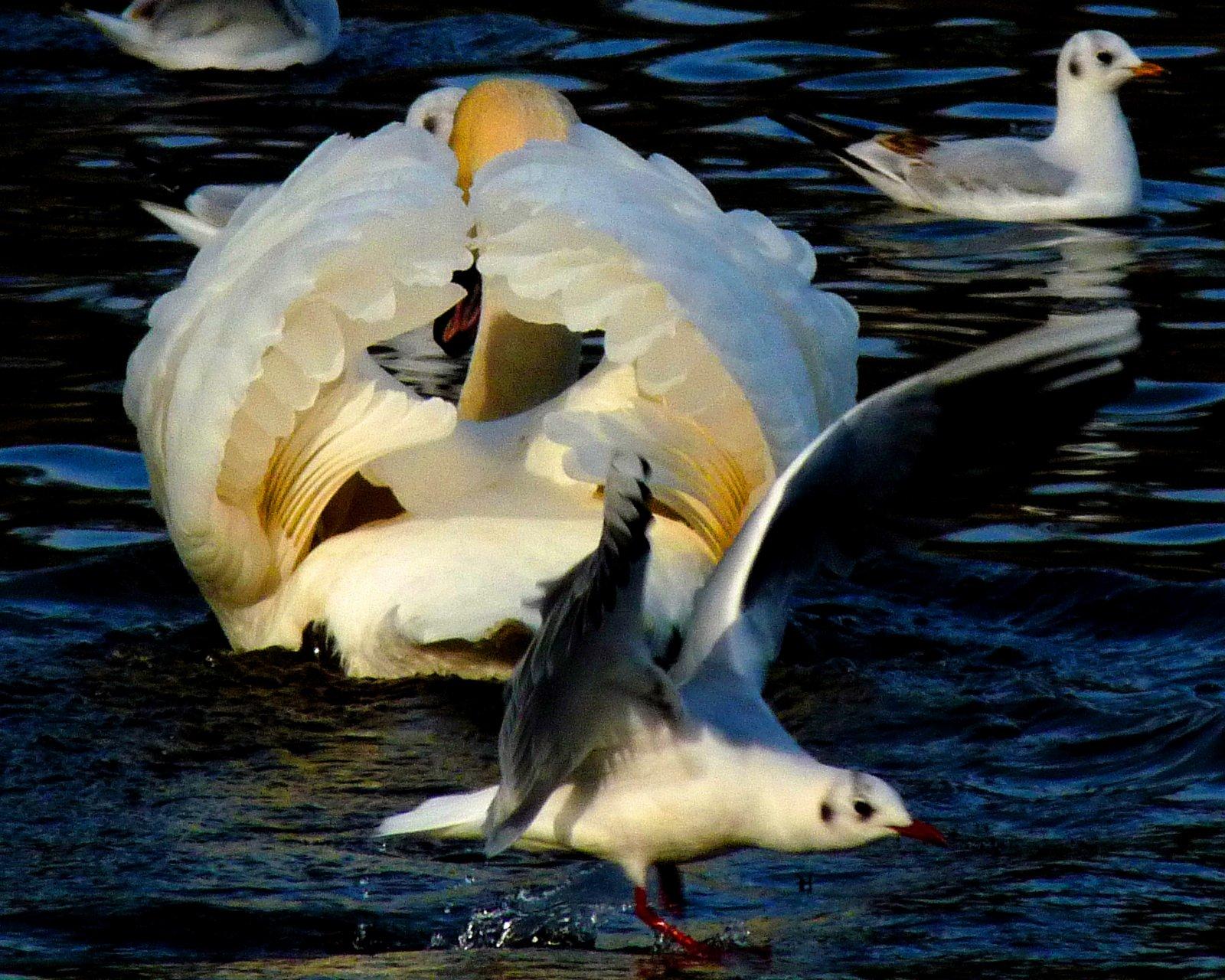 Swan and Seagull.JPG