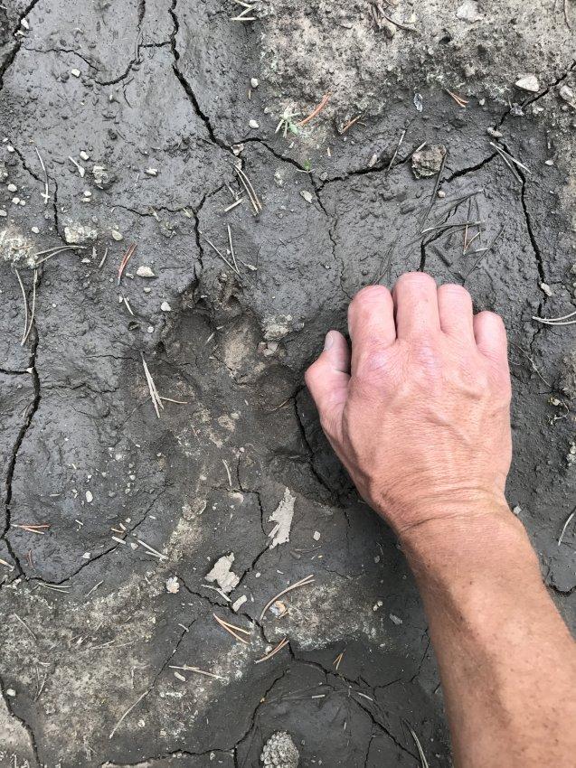 Wolf track Teton Wilderness.JPG
