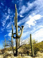 saguaros-multiple arms-IMG_E8584.jpg