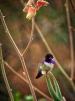 Costa Hummingbird-Phoenix Bot-P2165127.jpg